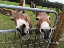 Deux ânes images stock