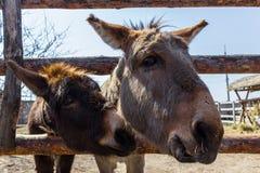 Deux ânes Image libre de droits