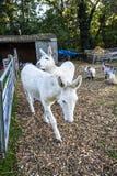 Deux ânes blancs à la clinique vétérinaire de Crowhurst, le Sussex est, Angleterre image stock
