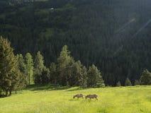 Deux ânes dans le pré de montagne près de col de vars en français Haute Provence photographie stock