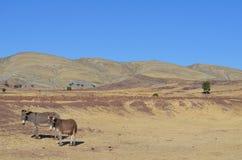 Deux ânes en Bolivie Photographie stock libre de droits
