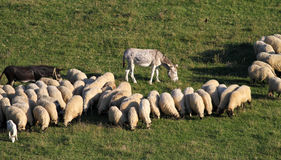 Deux ânes et moutons sur le pré Image libre de droits