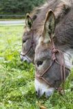 Deux ânes mangeant l'herbe. photo extérieure Images stock