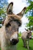 Deux ânes mignons en gros plan photo libre de droits
