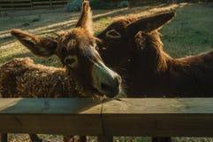Deux ânes sur un corral d'une ferme photographie stock libre de droits