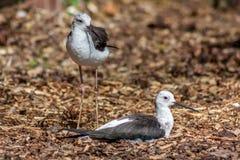 Deux échasses à ailes noires Photographie stock libre de droits