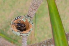 Deux Éclatant-se sont gonflés les poussins verts de colibri, Chlorostilbon Lucidus, dans leur nid, ont haché il y a un jour, le B photo stock
