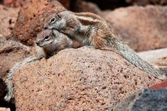 Deux écureuils moulus africains image stock