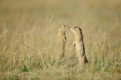 Deux écureuils moulus européens debout Images libres de droits