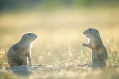 Deux écureuils moulus européens vis-à-vis eux selfs Image stock