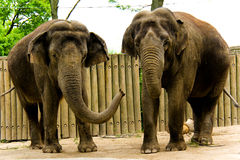 Deux éléphants Photos stock