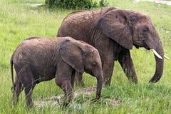 Deux éléphants Photographie stock