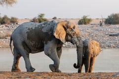 Deux éléphants africains sur le point d'eau Images libres de droits