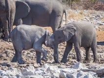 Deux éléphants africains très jeunes agissant l'un sur l'autre et caressant tête à tête, parc national d'Etosha, Namibie Image stock