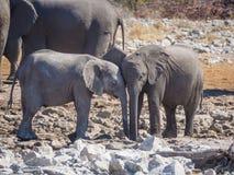 Deux éléphants africains très jeunes agissant l'un sur l'autre et caressant tête à tête, parc national d'Etosha, Namibie Photographie stock libre de droits