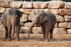Deux éléphants asiatiques Images stock