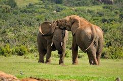 Deux éléphants combattant, stationnement national d'éléphant d'Addo, Afric du sud photos libres de droits