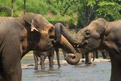 Deux éléphants d'Asie combattant en rivière Photos stock