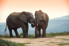 Deux éléphants dans l'éléphant d'addo stationnent, l'Afrique du Sud Image stock