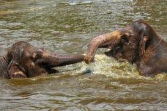 Deux éléphants de bébé jouant les uns avec les autres dans l'eau dans un zoo Photo libre de droits