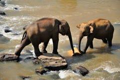 Deux éléphants en rivière, Sri Lanka Photo libre de droits