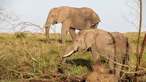 Deux éléphants heureux Images libres de droits