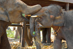 Deux éléphants heureux Photos stock