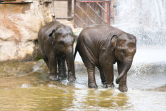 Deux éléphants jouant dans l'eau Image libre de droits