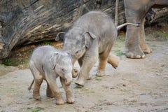 Deux éléphants mignons de bébé en jeu fun Photographie stock