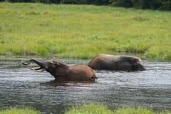 Deux éléphants se baignant en rivière République du Congo Image stock