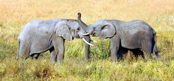 Deux éléphants se saluent avec là le tronc Images libres de droits