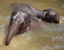 Deux éléphants swimmming en rivière Image stock