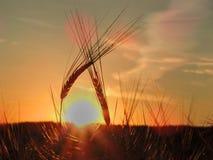 Deux épillets pliés entre eux au coucher du soleil images stock