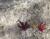 Deux érables rouges et un jaunes partent sur le plancher gris de ciment Photo stock