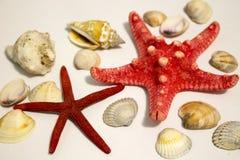 Deux étoiles de mer rouges sur un fond blanc photos libres de droits