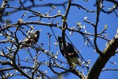 Deux étourneaux se reposent sur une branche d'arbre Photographie stock