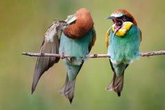 Deux abeille-mangeurs s'asseyant sur une branche sur un beau fond Photos libres de droits