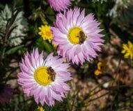 Deux abeilles sur des everlastings photo stock