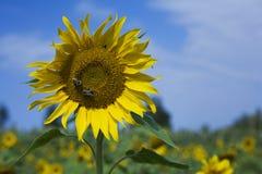 Deux abeilles sur la tête de fleur de Sun Image stock