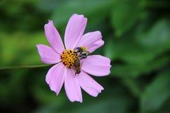 Deux abeilles sur le pâle - fleur rose photo stock