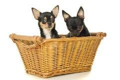 Deux adultes de chiens s'asseyent Photographie stock