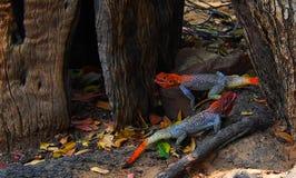 Deux agames à tête rouge de roche jouant entre les leavess photographie stock