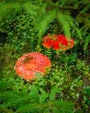 Deux agarics de mouche rouges photos libres de droits