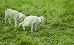 Deux agneaux Photo stock