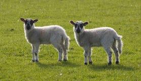 Deux agneaux Images libres de droits