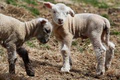 Deux agneaux Image libre de droits
