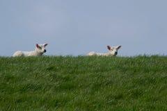 Deux agneaux blancs sur la digue verte contre le ciel bleu Photographie stock