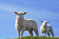 Deux agneaux curieux mignons regardant au printemps Photographie stock libre de droits