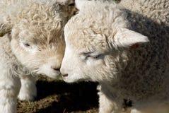 Deux agneaux de cotswold avec leurs têtes ensemble Photo stock