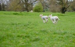 Deux agneaux de ressort sautant par le pré photo stock